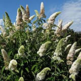 3 X BUDDLEJA DAVIDII WHITE PROFUSION BUTTERFLY BUSH DECIDUOUS SHRUB PLANT IN POT