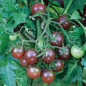 Chhajed Garden Tomato Black Cherry Herb Seeds