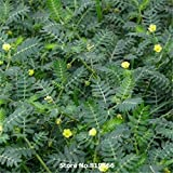 Real Chinese Tribulus Terrestris Seeds Medicine Herb Plant Tribulus Sementes Courtyard Bonsai Cijili Outdoor Garden...
