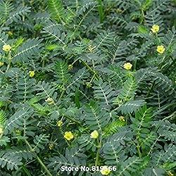 Real Chinese Tribulus Terrestris Seeds Medicine Herb Plant Tribulus Sementes Courtyard Bonsai Cijili Outdoor Garden Herbal