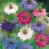 Nigella-Persian-Jewels-mixed-Annual-400-seeds