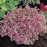 [Free Shipping] 10PCS Gypsophila Garden Bride Pink Seeds // Gypsophila 10pcs semillas jardín novia de color rosa