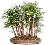 12 Seeds Metasequoia Glyptostroboides (Dawn Redwood) Makes an Excellent Bonsai Tree