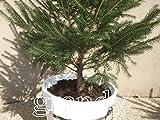 もみの木 鉢植 樽鉢 ホワイト