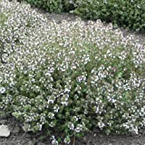 Suttons Seeds 165504 Thyme Orange Scented Herb Seed