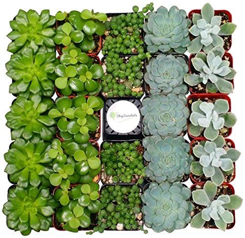 Shop Succulents Blue/Green Succulent (Collection of 40)