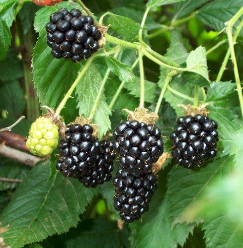 Natchez Thornless Blackberry Plant - Great Taste