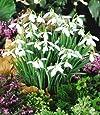 BALDUR-Garten Schneeglöckchen, 50 Zwiebeln Galanthus nivalis