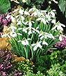 BALDUR-Garten Schneegl�ckchen, 50 Zwiebeln Galanthus nivalis