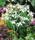 Lawn & Patio - BALDUR-Garten Schneegl�ckchen, 50 Zwiebeln Galanthus nivalis