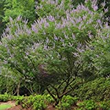 20 Seeds of Chaste Tree / Vitex Negundo