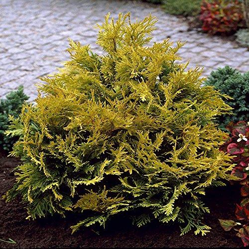thuja-occidentalis-sunkist-5-arbres