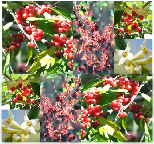 4 Packs X 20 Autumn Olive Seeds - Elaeagnus Umbellata - Aka Japanese Silverberry , Umbellate Oleaster, Autumn-Olive - Nitrogen Fixing, Fragrant Flowers & Edible Fruits - By Myseeds.Co