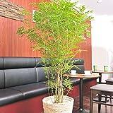観葉植物 シマトネリコ 10号※白バスケット鉢カバー付< 自宅のインテリアに 癒しの植物 >