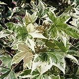 アメリカフウ:シルバーキング6号ポット[シンボルツリーに人気の斑入り葉品種・モミジバフウ]