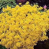 Alyssum saxatile citrinum - 6 plants