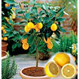 100 Pcs / Bag, Lemon Seeds, Balcony Patio Potted Fruit Trees Planted Seeds