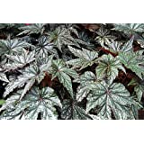Gryphon Begonia 8 Seeds - Grow Indoors or Out