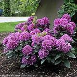 Handy Man TM Purple Rhododendron - Quart Pot - Proven Winners