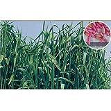 農業資材 緑肥 種子 【 緑肥用 ライ麦 緑春 1kg 】土づくり 土壌改良におすすめの資材♪