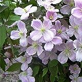 クレマチスモンタナ10ファイネスト種子スーパーカラーバリエーションを成長しやすく、香り