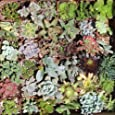 36 Mixed Succulent Spring Collection