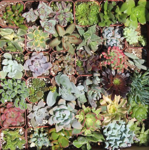 Shop Succulents Green Succulent (Collection of 36)