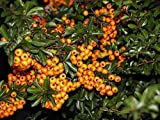 Pyracantha spp (Red Column) - Firethorn