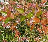 Bronze AnniversaryTM Abelia grandifolia 'Rika1' PP20,568 - Bronze/Orange Color - Proven Winners