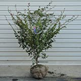 庭木:姫サザンカ/椿 (エリナ) H:70cm