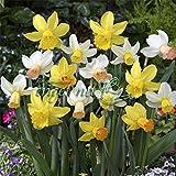 ミニ水仙:花のかわいい水仙混合4球入り 2袋セット