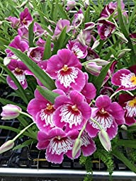 Miltoniopsis Keiko Komoda orchid, blooming size pink with white waterfall lip