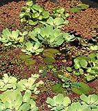 Schwimmpflanzen Mix für den Gartenteich 4 Sorten