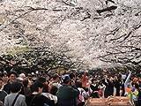 【6か月枯れ保証】【街路樹&公園樹】サクラ/ソメイヨシノ 1.7m
