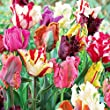 20 Parrot Mix Tulip Bulbs - Tulipa Parrot
