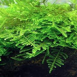 7x7cm TAIWAN Moss pad - Live aquarium fish tank plants water low light tropicalNo pesticides
