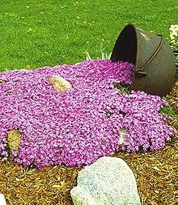 baldur garten teppichphlox 39 emerald pink 39 winterharter. Black Bedroom Furniture Sets. Home Design Ideas