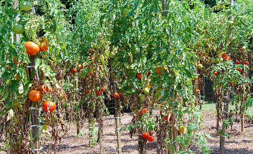 250 Organic Drought & Heat Tolerant 'Floradade' Heirloom Tomato Seeds FREE Luffa Seeds Included (Heat Tolerant Tomato Seeds compare prices)