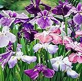 Japanese Iris Ensata Perennial - 30+ Seeds