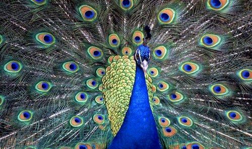 PEACOCK CANVAS ART ANIMAL ARTWORK BOX CANVAS 34 X 20 INCHES READY TO HANG