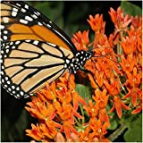 Package of 100 Seeds, Butterfly Milkweed / Monarch Flower (Asclepias tuberosa) Open Pollinated Seeds by Seed Needs USA