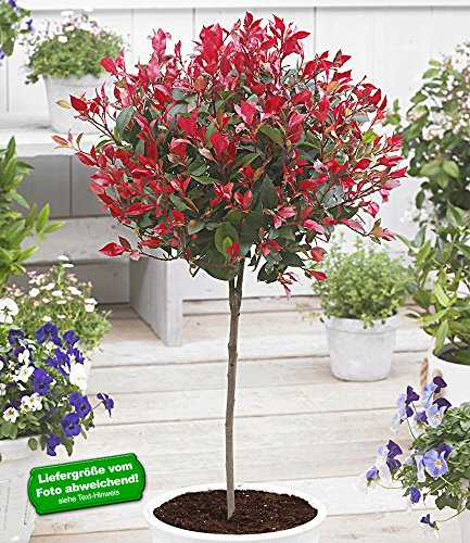 baldur-garten-immergrunes-photinia-stammchen-little-red-robinr-1-pflanze-glanzmispel