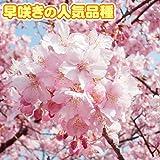 花木 桜 河津 1株