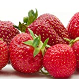 Stargazer Perennials 20 Sweet Sunrise Strawberry Plants | June Bearing Super Sweet Organic Non-GMO Bare Root Crowns - Easy To Grow!