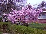 Japanische Blütenkirsche rosa blühend