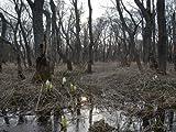 【6か月枯れ保証】【山林苗木】ハンノキ 0.5m 【即日発送対応】