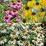 Echinacea (Coneflower) Collection - 3 varieties