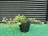 ツルアジサイ苗木 鉢植えや壁面緑化に☆紫陽花
