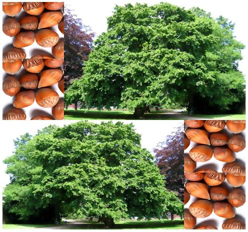 4 Packs X 10 American Hazelnut - Filbert Corylus Americana Seed Seeds - Edible Nuts - Cold Hardy Zone 4 - 9 - By Myseeds.Co