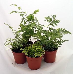 mini ferns for terrariums fairy garden 5 different plants 2 pots patio lawn. Black Bedroom Furniture Sets. Home Design Ideas